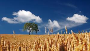 El trigo, el cereal con mayor cantidad de gluten